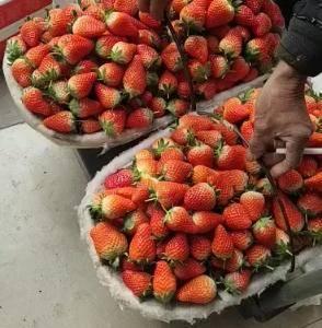 山口九号草莓