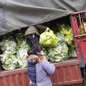 贵州省六盘水市盘州市保田镇,有1.3万斤左右的芽芽菜出售