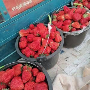 河北保定正宗九九草莓