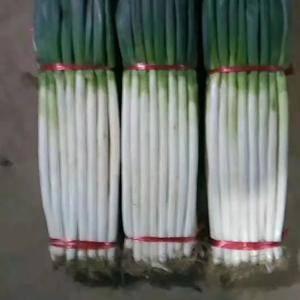 优质日本铁杆钢葱葱苗,葱种。长白大葱葱种,葱苗