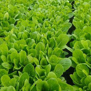 有机无公害小白菜大量供应。