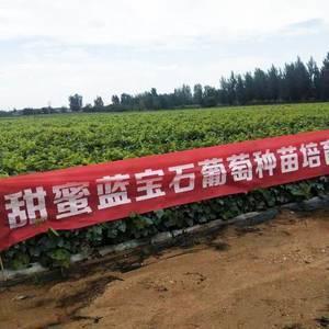 昌黎县松园葡萄苗木基地:大量供应葡萄苗,新品种葡萄苗(全...
