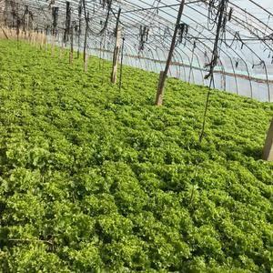 大棚种植生菜,现货供应,长势良好,需要的联系