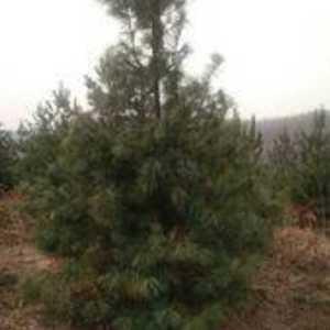 自家山场有红松一万棵,高二米左右。米径3~4公分。货在吉...