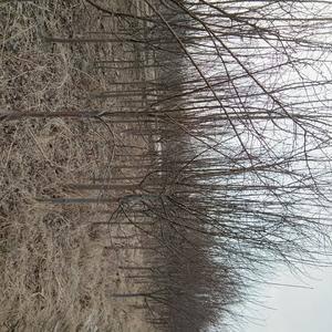 国槐树苗,绿化苗木大量。大量现货。