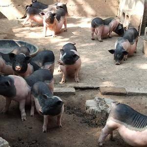 陆川猪是全国优良品种之一,母猪具有成熟早,产仔多,母性好...