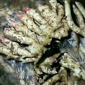 山东生姜产地批发,优质姜种大量出窖销售了,产量高,块头大...