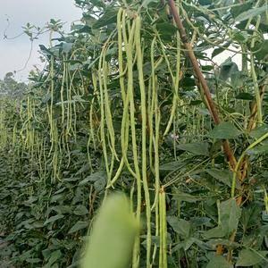 长豆角常年有货