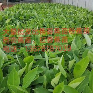 大量批发出售农科院制种香蕉苗、粉蕉苗、西贡粉蕉苗,红香蕉...