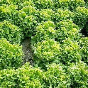 生菜今年长势良好,颗大量足,无病虫害。无坏叶。需要批发的...