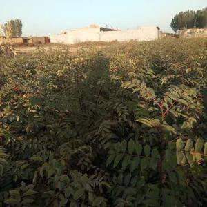 出售大红袍狮子头花椒树苗约20万株,量大价优,预购从速