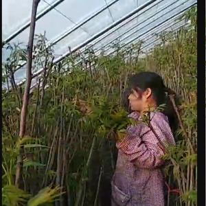 山东红香椿协会大量供应红香椿树苗