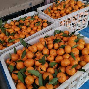 自家有机肥种植大量马水桔上市,果质成色非常,好欢迎来电咨...