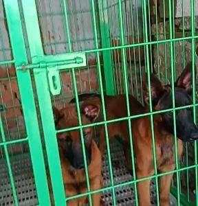 本犬舍常年出售马犬,拉布拉多犬,德牧犬,诚信经营,服务第...