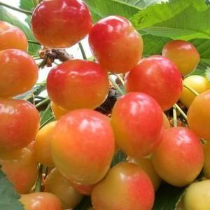 代收各种大樱桃,味道好!个头发耐运输