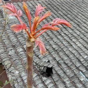 正宗四川红油香椿芽
