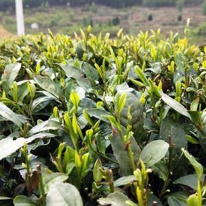 山东日照优质绿茶