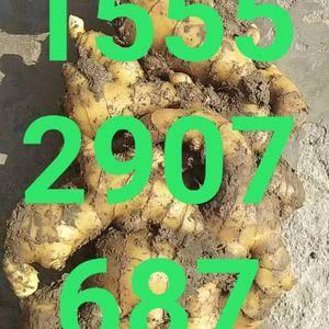 山东姜种,15552907687大姜,小姜,面姜,黄姜产...
