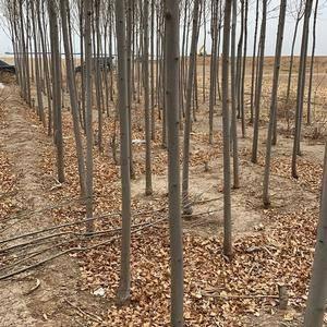 处理4到7个白蜡树2000棵,自己刨六七块钱一棵!