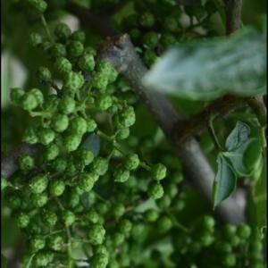 预售鲜花椒,青花椒。每天供应100公斤,农家自产,纯天然...