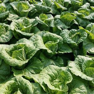 山东青州市春季白菜大量上市,欢迎新老客户前来订购,质量特...