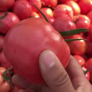 硬粉西红柿便宜了