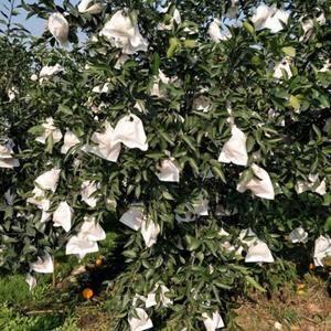眉山东坡区白马镇耙耙柑成熟了,大约2万斤,期待各位老板前...