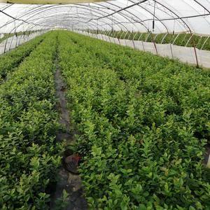长年供应蓝莓苗,品种齐全,欢迎朋友们实地考察
