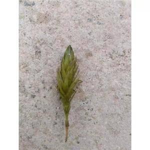 轮叶黑藻芽孢,产地直销,3月25日前停止发货,微信电话同...