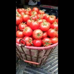 广西百色出西红柿全国发货基地直发,19977741902...