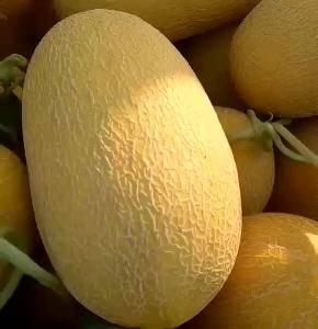 哈密瓜大量出货需要的联系。