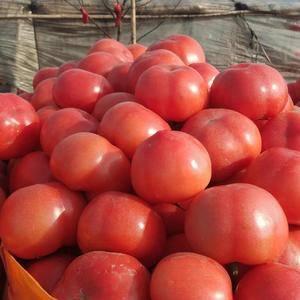 大量供应西红柿,价格低果型好欢迎广大客商前来收购