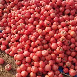 大量供应西红柿,价格低果型好,来了不吃亏18754967...
