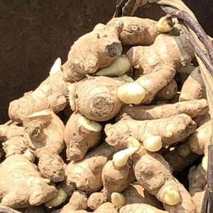 13013511121山东省日照市是传统的优质大姜生产区...