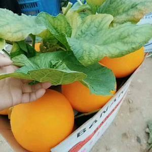 伊丽莎白香瓜1 ~21.5公斤有4000斤