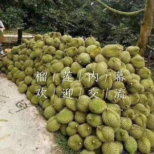 榴莲批发基地   主营:马来西亚树熟猫山王榴莲  泰...