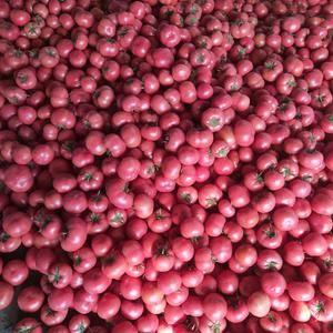 西红柿硬粉,硬度高,果型圆,颜色好!现大量上市!等待求购...