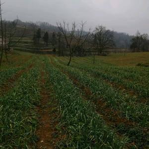 贵州高原蒜苗