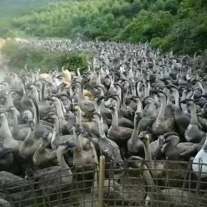 广西合浦狮头鹅苗,成年90天可出栏,公鹅可达15斤左右,...