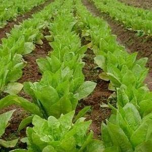 尖叶三青莴笋十亩约十几万斤