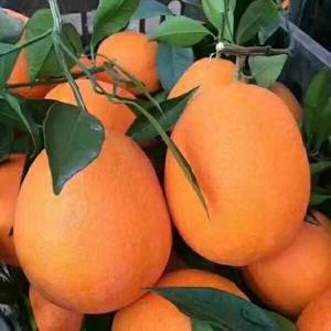 秭归脐橙产地直销,现有伦晚,中华红,纽荷尔,夏橙,欢迎全...