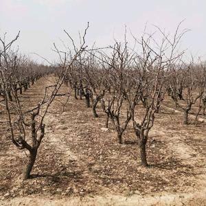 沾化冬枣树苗,2公分-15公分,急售价格低,绿化,栽培,...