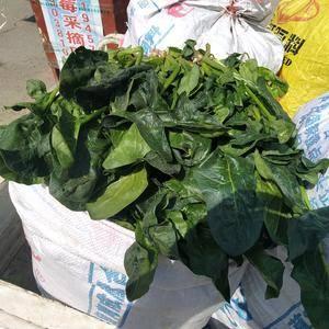 本人是河南省武陟县的,有三亩半20-30厘米好菠菜,我啥...