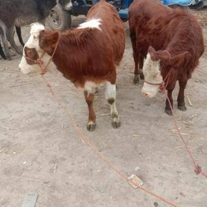 市场品种小公牛犊子太多,需要的客户快来选购,联系电话15...