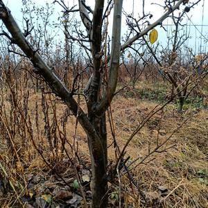 晚秋黄梨,成品树