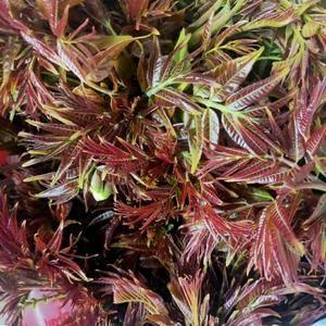 应季香椿芽上市张超大,里峪旅游村供应韩杰,本地香椿回理,可提供采摘
