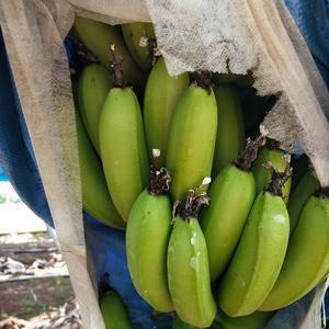 出售香蕉,可代发吨位级货量,联系18320423822陈...