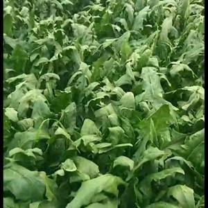 河北邯郸大名,大量菠菜上市了,需要收购菠菜的请联系,王先...