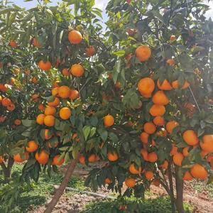 现有20吨左右沃柑出售,水果含糖量高,品质好,价格合理,...