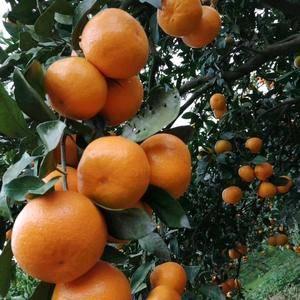 蜜橘 特早蜜橘 叶桔皮薄多汁果园看货现场现发,货真价实